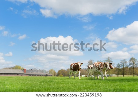 Brown and white cows in Dutch landscape - stock photo