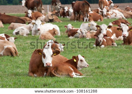 Brown and white dairy cows in pasture, Czech Republic - stock photo