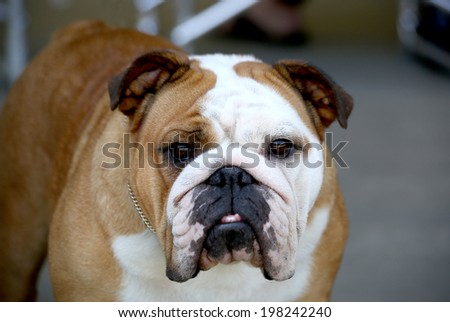 Brown and White English Bulldog posing for the camera - stock photo