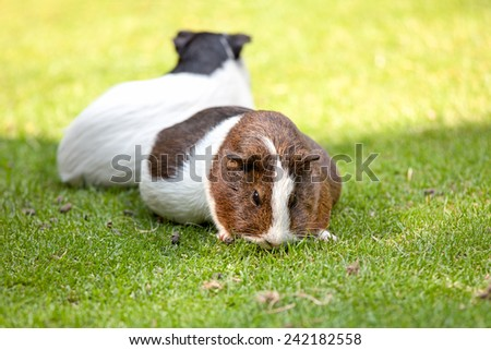 Brown and white Guinea pig eat green grass - stock photo