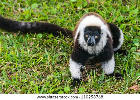 Brown and white lemur Vari (ruffed lemur)  in the forest of Madagascar - stock photo