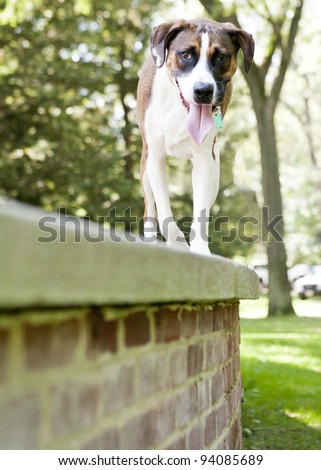 Brown and White Mix breed Dog looking at the camera while standing - stock photo
