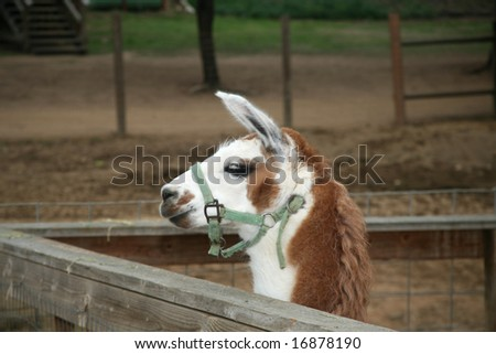 Brown and white pet llama or alpaca in a corral
