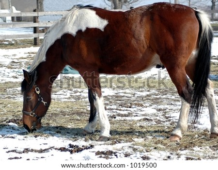 brown and white pinto horse. - stock photo