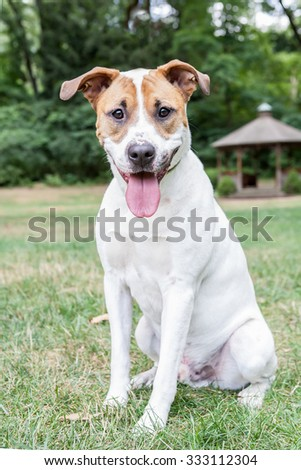 Brown and white pitbull mix dog sitting in the park - stock photo