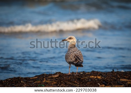 Brown and white seagull in the sunset light on the seashore looking to the right