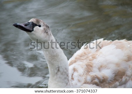 Brown and white swan floating on the river in winter