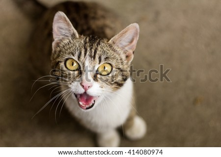 Brown and white tabby cat meowing   - stock photo