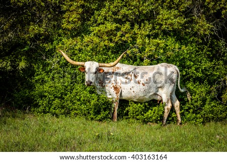 Brown and White Texas Longhorn - stock photo