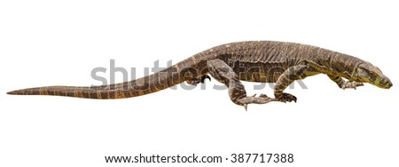 Brown and yellow Komodo dragon walking, from Australia, isolated on white background