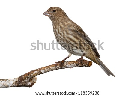 brown and yellow striped female house finch posed on a white birch branch, white background - stock photo