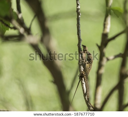 Brown Anole Lizards Mating on Branch - stock photo