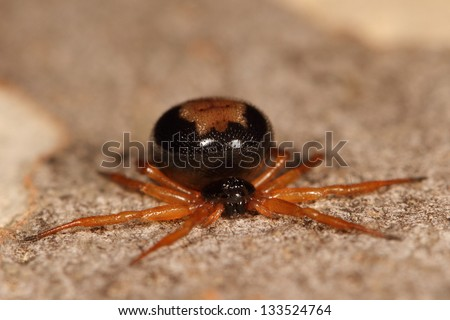 Brown ant hunting spider