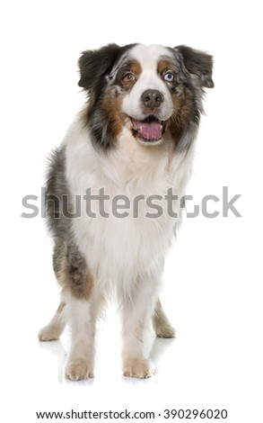 brown australian shepherd in front of white background