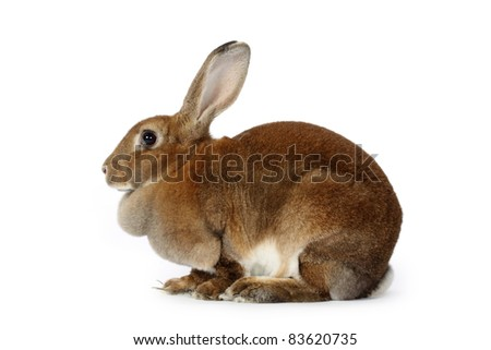 Brown baby bunny on white background