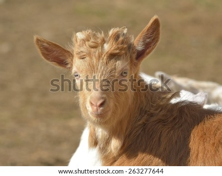 Brown baby goat - stock photo