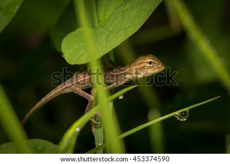 Brown baby native lizard or chameleon on the grass. - stock photo