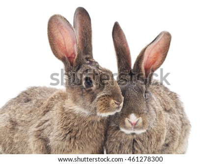 Brown baby rabbits on a white background.