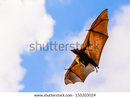 Brown bat flying with baby - stock photo