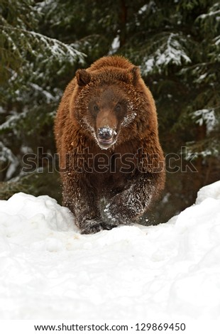 Brown bear after hibernation in the wild