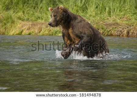Brown Bear aka Grizzly Bear, Ursus arctos middendorffi, chasing salmon in river in Geographic Harbor, Katmai National Park, Alaska, USA