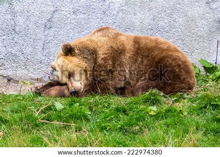 Brown bear asleep on the grass - stock photo
