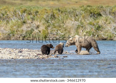 Brown bear at Katmai Alaska eating,chasing sockeye salmon and her two cubs