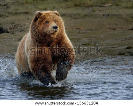 Brown bear at Lake Clark chasing salmon - stock photo