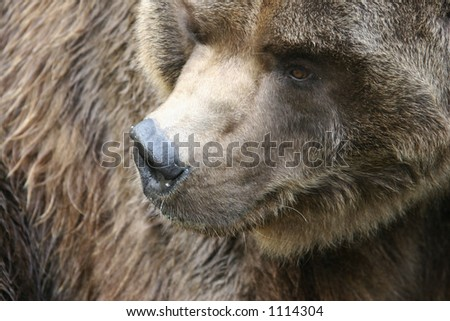 Brown Bear at the Pittsburgh Zoo - stock photo