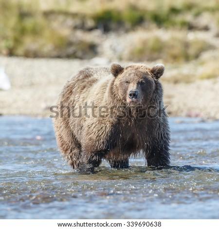 Brown bear chasing sockeye salmon at a river at Katmai Alaska - stock photo