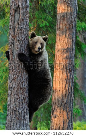 Brown Bear climbing a tree - stock photo