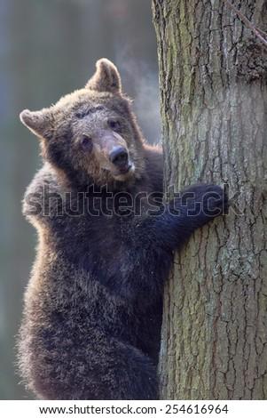 brown bear climbing the tree - stock photo