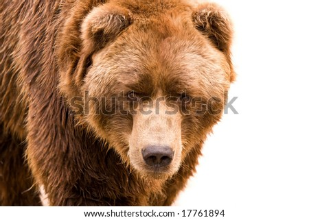 Brown bear close-up portrait isolated on white background