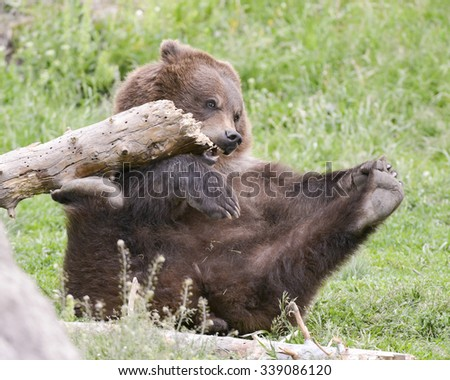brown bear cub playing with log - stock photo