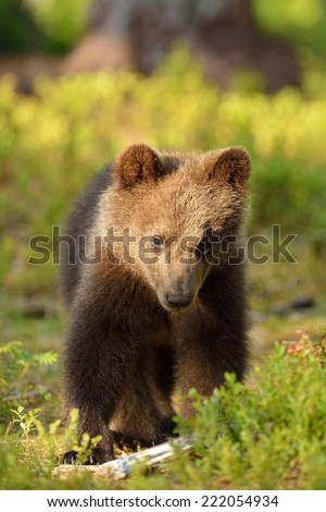 Brown bear cub portrait in forest - stock photo