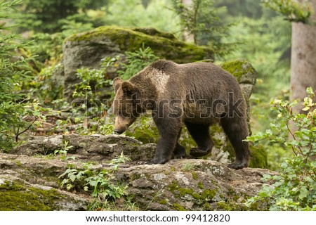 Brown bear cub standing on a rock in the forest