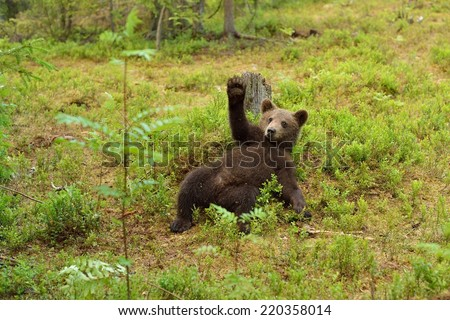 Brown bear cub waving. Hello. Hey. Wave. Bye. Cute. Bear cub.