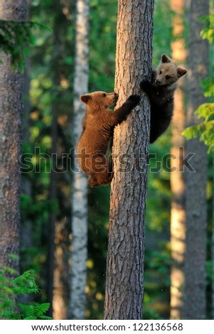 Brown bear cubs on tree - stock photo