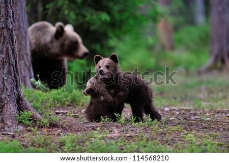 Brown bear cubs playing - stock photo