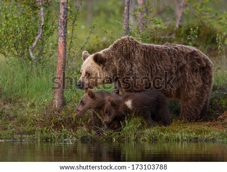 Brown bear cubs with a mom by the pond, Finland - stock photo