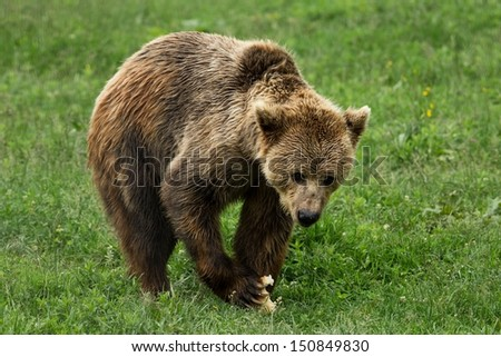 Brown bear eating in the forest - stock photo
