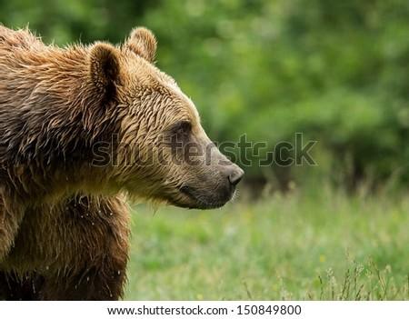 Brown bear face, portrait - stock photo