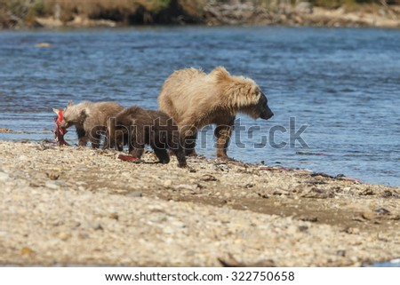 Brown bear female and her two spring cubs - stock photo