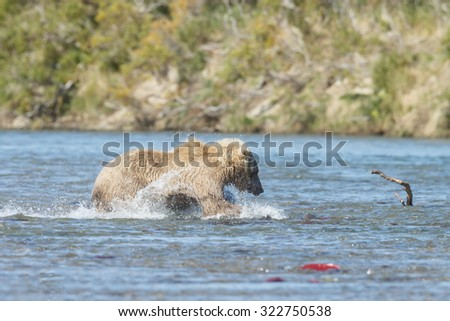 Brown bear female chasing salmon in the river