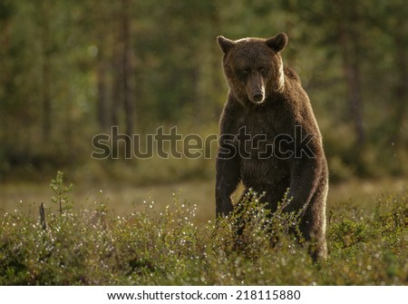 Brown bear, Finland - stock photo