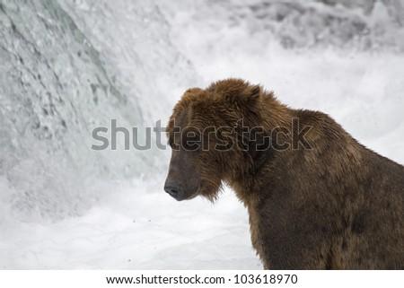Brown Bear fishing in Katmai National Park in Alaska - stock photo