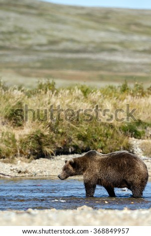 Brown bear hunting for sockeye salmon in a river
