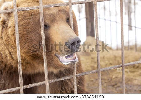 brown bear in a cage in Kamchatka