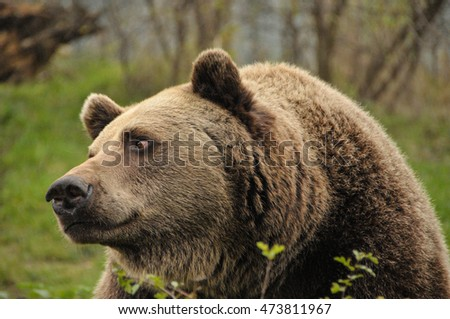 Brown Bear in Bear sanctuary.
