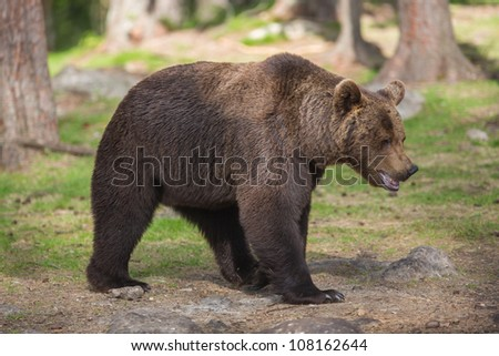 Brown bear in Finnish Tiaga forests - stock photo